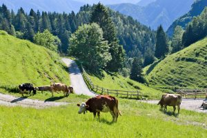 mucche a malga trat